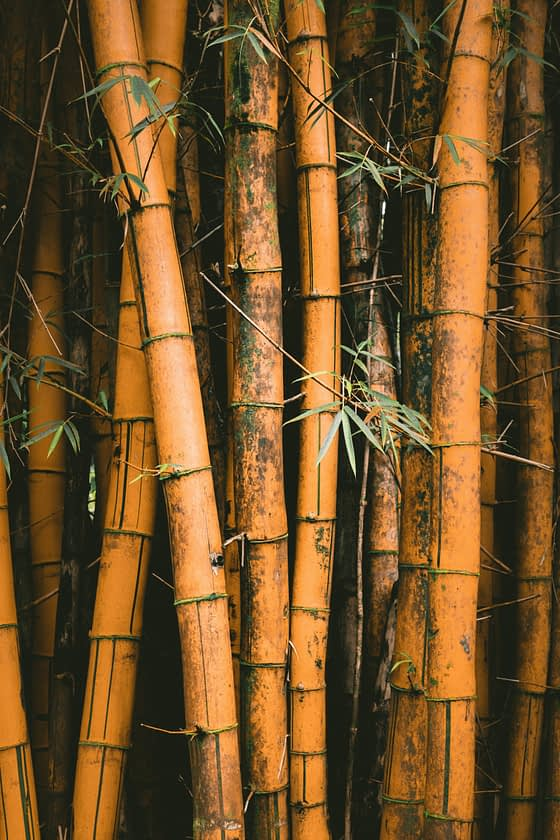 Get started growing bamboo on your farm